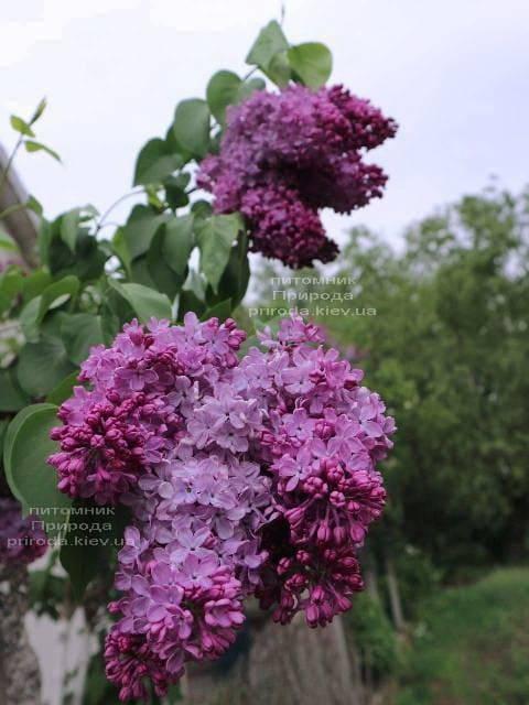 Сирень обыкновенная Индия (Syringa vulgaris Indiya ) ФОТО Питомник растений Природа (1)