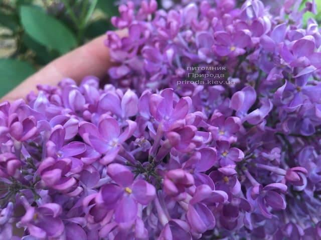 Сирень Карл 10 (Syringa vulgaris Karl 10) ФОТО Питомник растений Природа (4)