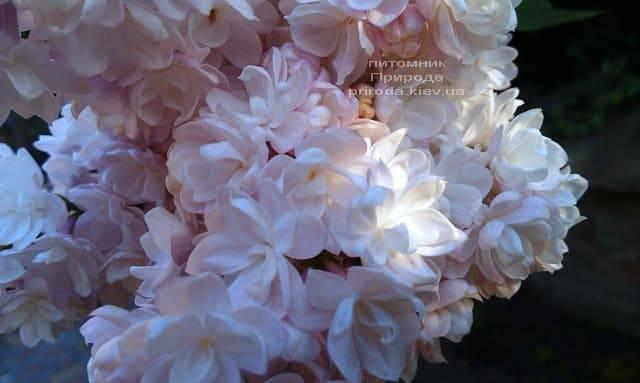 Сирень Красавица Москвы (Syringa vulgaris Krasawica Moskwy) ФОТО Питомник растений Природа (11)