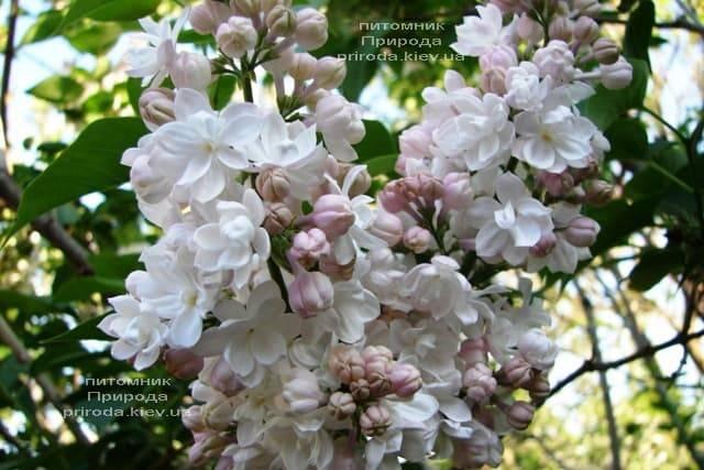 Сирень Красавица Москвы (Syringa vulgaris Krasawica Moskwy) ФОТО Питомник растений Природа (7)
