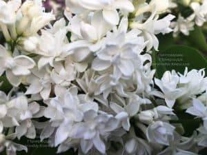 Сирень обыкновенная Леся Украинка (Syringa vulgaris Lesya Ukrainka ) ФОТО Питомник растений Природа (8)