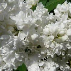 Сирень Мадам Лемуан (Syringa vulgaris Mme Lemoine) ФОТО Питомник растений Природа (1)