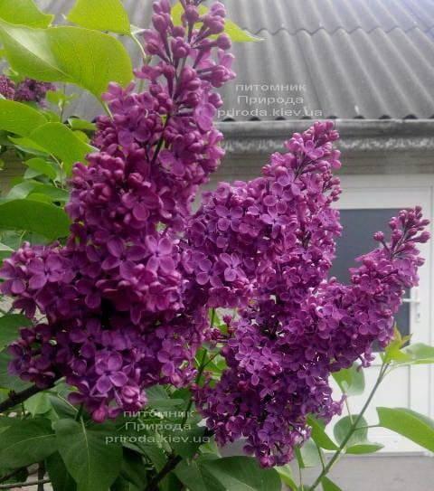 Сирень Маршал Жуков (Syringa vulgaris Marshal Zhukov) ФОТО Питомник растений Природа (1)