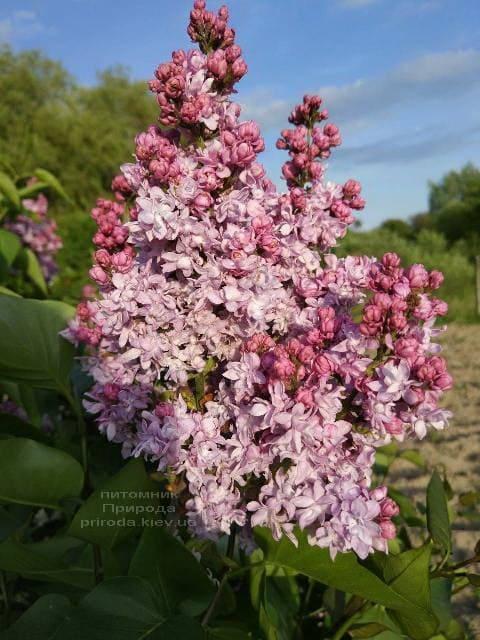 Сирень Павлинка (Syringa vulgaris Pavlinka) ФОТО Питомник растений Природа (1)