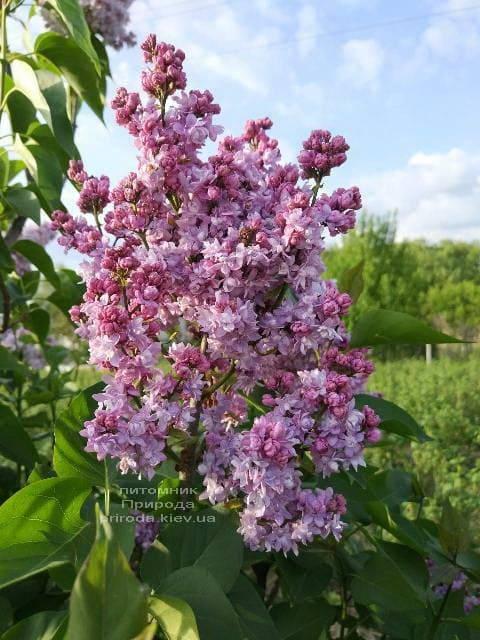 Сирень Павлинка (Syringa vulgaris Pavlinka) ФОТО Питомник растений Природа (2)