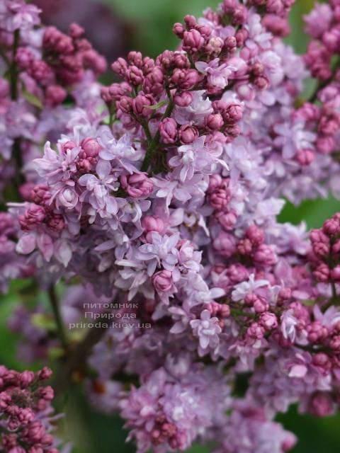 Сирень Павлинка (Syringa vulgaris Pavlinka) ФОТО Питомник растений Природа (3)