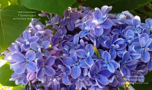 Сирень Президент Греви (Syringa President Grevy) ФОТО Питомник растений Природа (11)