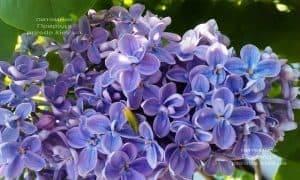 Сирень Президент Греви (Syringa President Grevy) ФОТО Питомник растений Природа (12)
