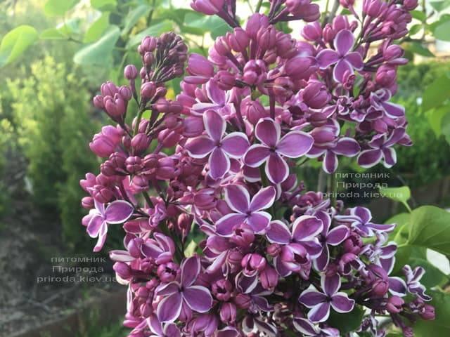 Сирень Сенсация (Syringa vulgaris Sensation) ФОТО Питомник растений Природа (11)