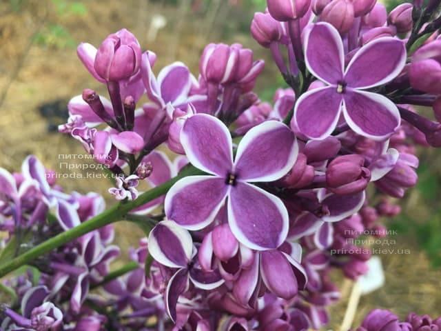 Сирень Сенсация (Syringa vulgaris Sensation) ФОТО Питомник растений Природа (8)