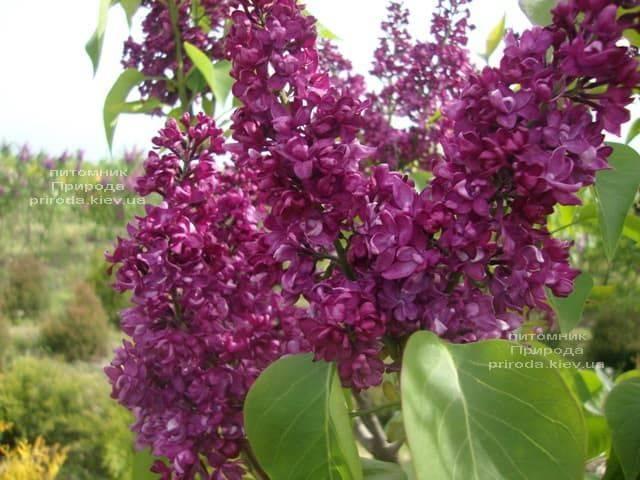 Сирень Шарль Жоли (Syringa vulgaris Charles Joly) ФОТО Питомник растений Природа (2)