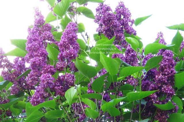 Сирень Шарль Жоли (Syringa vulgaris Charles Joly) ФОТО Питомник растений Природа (3)
