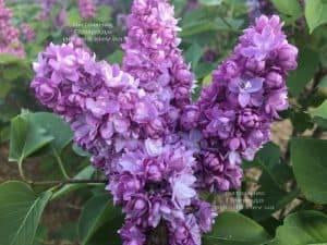 Сирень Тарас Бульба (Syringa vulgaris Taras Bulba) ФОТО Питомник растений Природа (3)