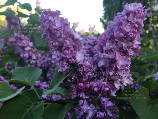 Сирень Тарас Бульба (Syringa vulgaris Taras Bulba) ФОТО Питомник растений Природа