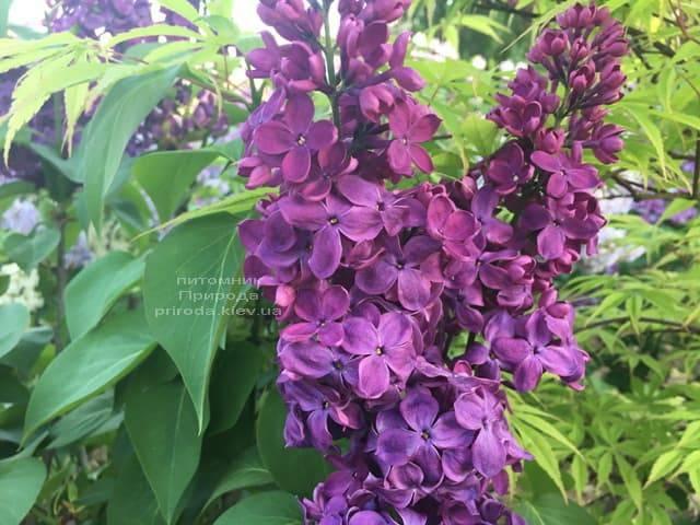 Сирень Знамя (Syringa vulgaris Znamja) ФОТО Питомник растений Природа (2)
