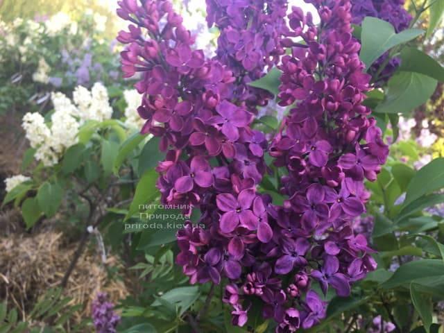 Сирень Знамя (Syringa vulgaris Znamja) ФОТО Питомник растений Природа (4)