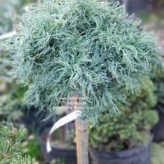 Сосна Веймутова Грин Твист (Pinus strobus Green Twist) на штамбе ФОТО Питомник растений Природа (2)