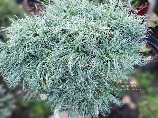 Сосна Веймутова Грин Твист (Pinus strobus Green Twist) на штамбе ФОТО Питомник растений Природа (4)