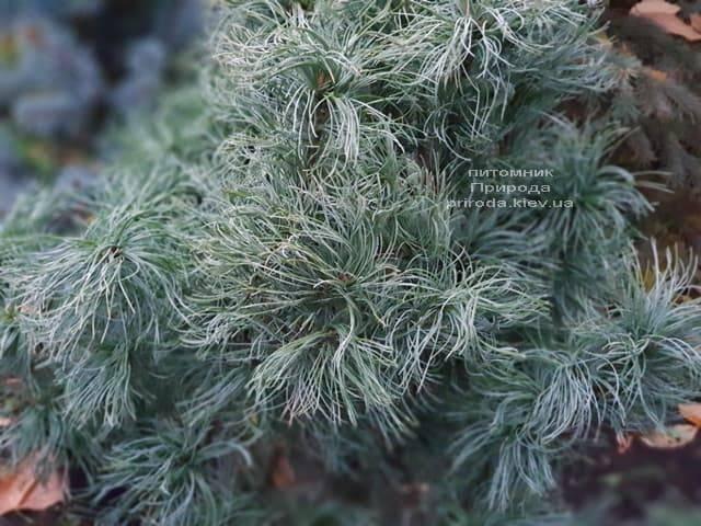 Сосна Веймутова Тайни Керлз (Pinus strobus Tiny Curls) ФОТО Питомник растений Природа (6)