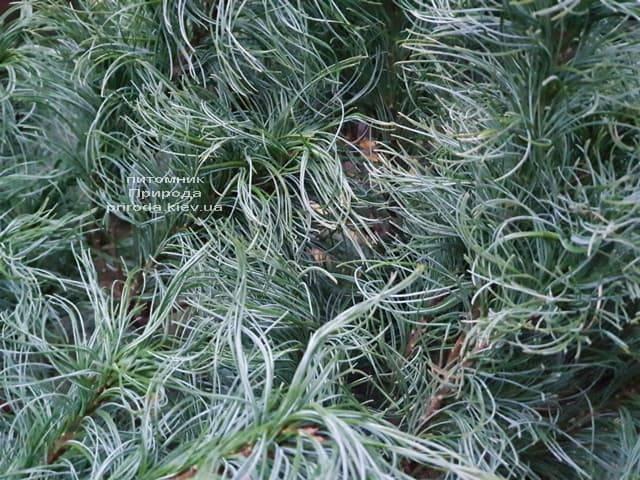 Сосна Веймутова Тайни Керлз (Pinus strobus Tiny Curls) ФОТО Питомник растений Природа (7)