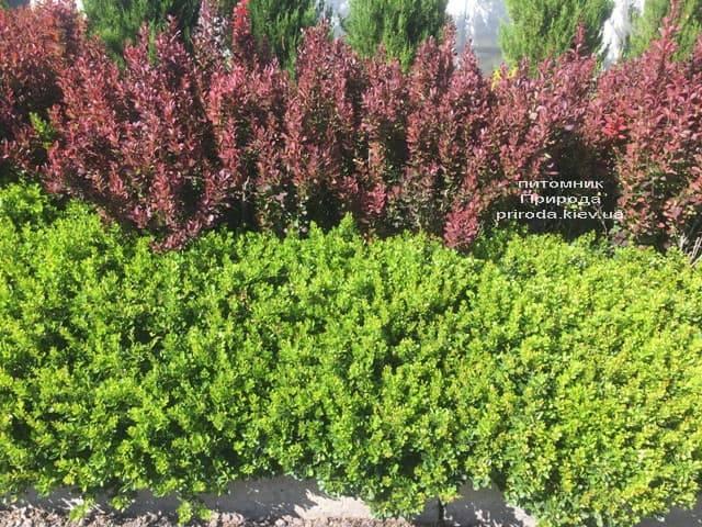 Барбарис Тунберга Кобольд (Berberis thunbergii Kobold) ФОТО Питомник растений Природа (1)