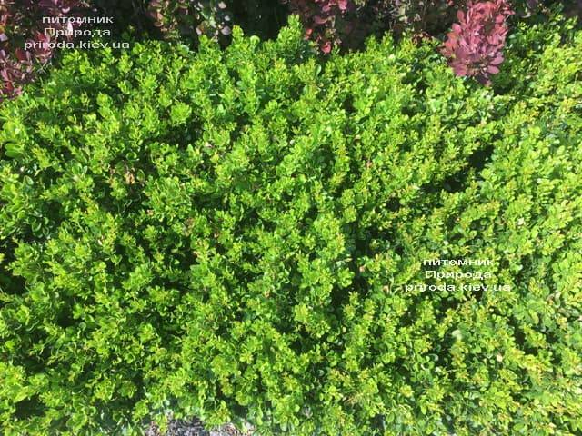 Барбарис Тунберга Кобольд (Berberis thunbergii Kobold) ФОТО Питомник растений Природа (2)