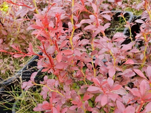 Барбарис Тунберга Оранж Дрим (Berberis thunbergii Orange Dream) ФОТО Питомник растений Природа (2)