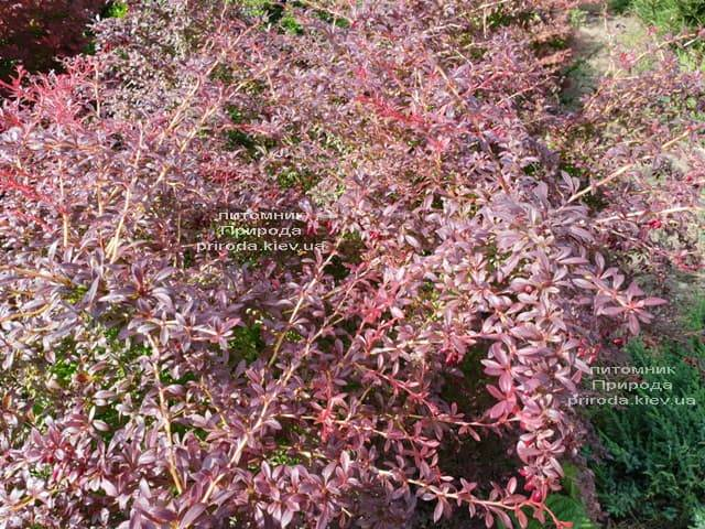 Барбарис Тунберга Оранж Дрим (Berberis thunbergii Orange Dream) ФОТО Питомник растений Природа (3)
