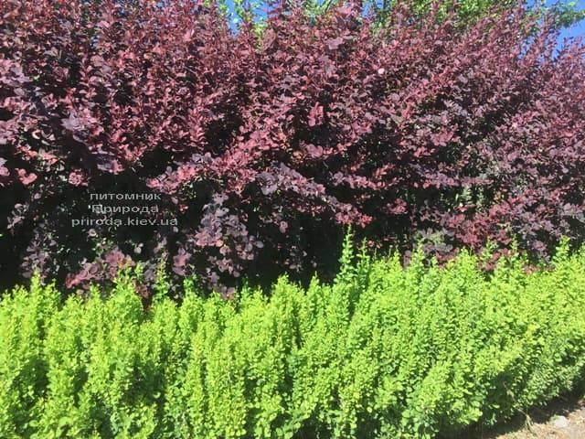 Барбарис Тунберга Паувау (Поувов) (Berberis Thunbergii Powwow) ФОТО Питомник растений Природа (4)