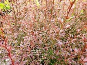 Барбарис Тунберга Ред Дрим (Berberis thunbergii Red Dream) ФОТО Питомник растений Природа (2)