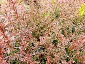 Барбарис Тунберга Ред Дрим (Berberis thunbergii Red Dream) ФОТО Питомник растений Природа (3)