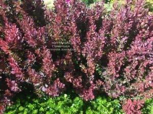 Барбарис Тунберга Рэд Пиллар (Berberis thunbergii Red Pillar) ФОТО Питомник растений Природа (1)
