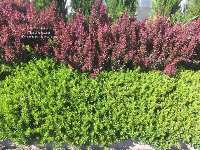 Барбарис Тунберга Рэд Пиллар (Berberis thunbergii Red Pillar) ФОТО Питомник растений Природа (3)