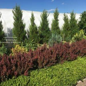 Барбарис Тунберга Рэд Пиллар (Berberis thunbergii Red Pillar) ФОТО Питомник растений Природа (4)