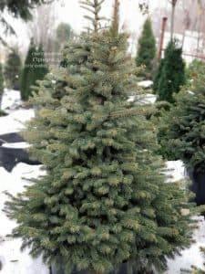 Ель Глаука ФОТО Питомник растений Природа (17)