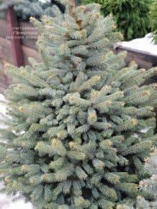 Ель Глаука ФОТО Питомник растений Природа (25)