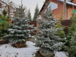 Ель голубая Эдит (Picea pungens Edith) ФОТО Питомник растений Природа (14)