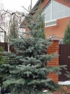 Ель голубая Эдит (Picea pungens Edith) ФОТО Питомник растений Природа (21)