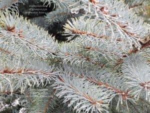 Ель голубая Эдит (Picea pungens Edith) ФОТО Питомник растений Природа (24)