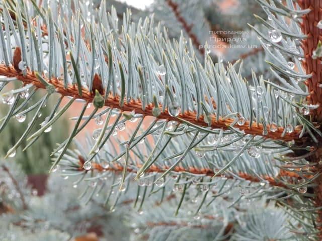 Ель голубая Эдит (Picea pungens Edith) ФОТО Питомник растений Природа (29)
