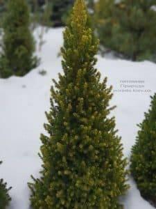 Ель канадская ФОТО Питомник растений Природа (2)