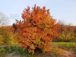 Калина красная (обыкновенная) (Viburnum opulus) ФОТО Питомник растений Природа (1)