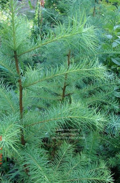 Лиственница европейская (Larix decidua) ФОТО Питомник растений Природа (1)