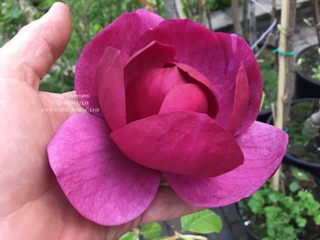Магнолия Блэк Тюлип (Magnolia Black Tulip) ФОТО Питомник растений Природа (25)