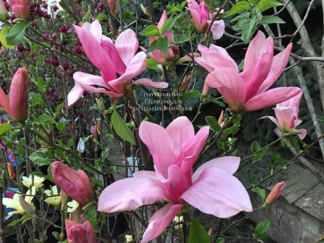 Магнолия Дэйбрэйк (Daybreak) ФОТО Питомник растений Природа (10)