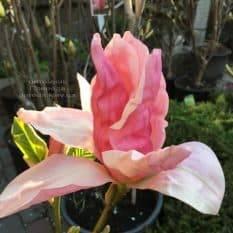 Магнолия Дэйбрэйк (Daybreak) ФОТО Питомник растений Природа (6)