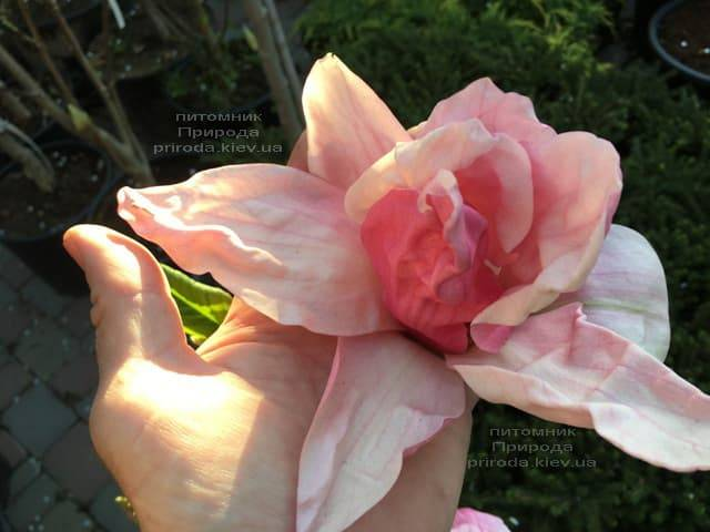 Магнолия Дэйбрэйк (Daybreak) ФОТО Питомник растений Природа (7)
