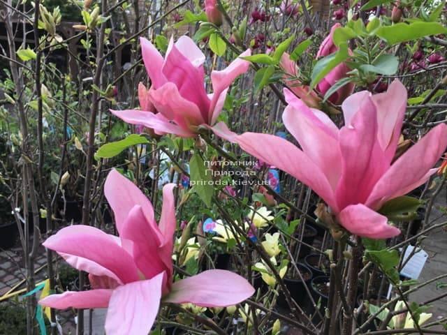 Магнолия Дэйбрэйк (Daybreak) ФОТО Питомник растений Природа (9)