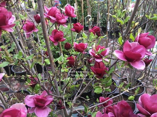 Магнолия Джени (Magnolia Genie) ФОТО Питомник растений Природа (9)