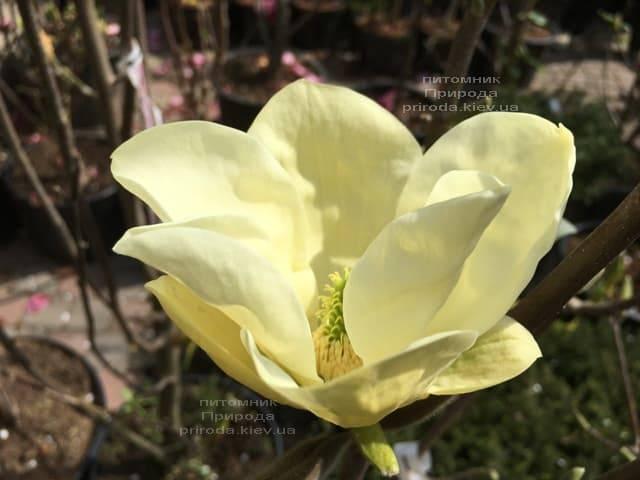 Магнолия Элизабет (Magnolia Elizabeth) ФОТО Питомник растений Природа (7)